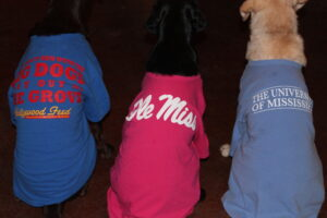 Labradors at Wildrose Kennels Show Off Their Ole Miss Loyalty
